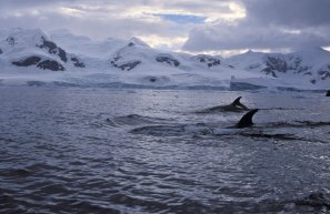 Minke Whales at Neko Harbour