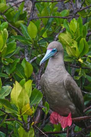 Red -footed Booby