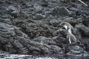 Galapagos Penquin