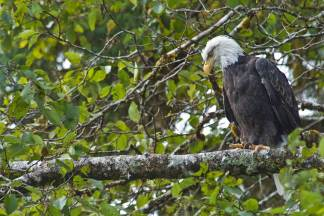 Waiting - an American Bald Eagle