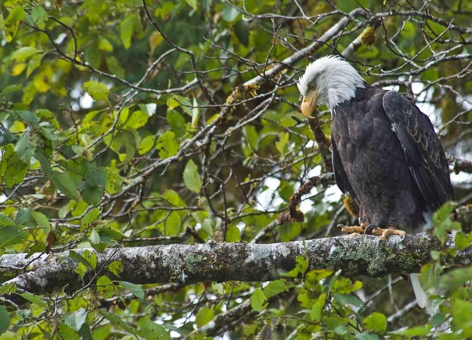 Waiting - an American Bald Eagle