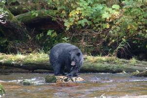 Black Bear, Princess Royal Island