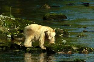 Kermode Bear, Princess Royal Island