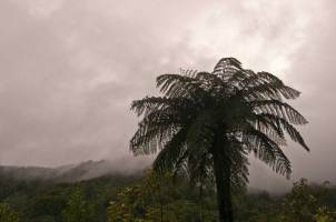 Tree fern, North Island