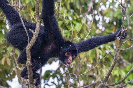 Amazonian Spider Monkey