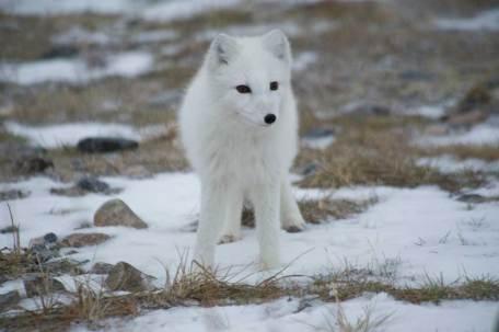 Who me? - Arctic Fox
