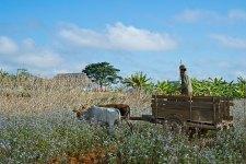 Harvesting Arrowroot, Vinales Valley