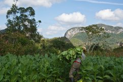 Tobacco farming - Vinales Valley