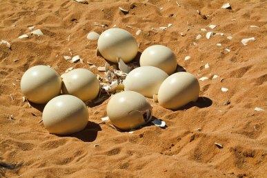 Ostrich egg hatching