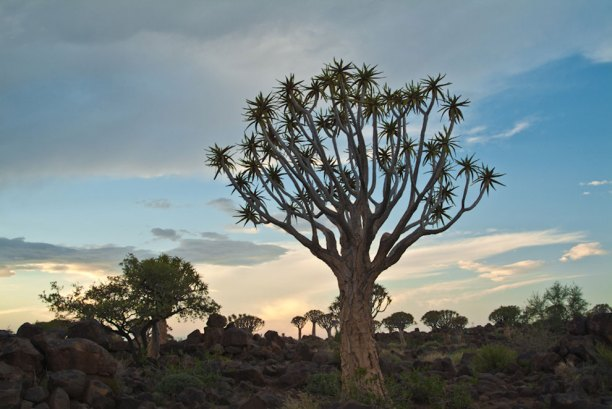 Dusk in the Quivertree Forest