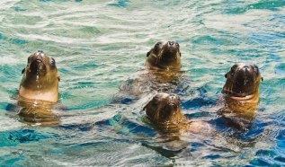 The Choir, Sea Lions, Sea of Cortez