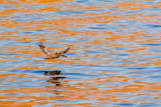 Brown Pelican on morning flight