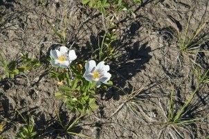 The Rose of Alberta
