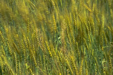 Waving Wheat