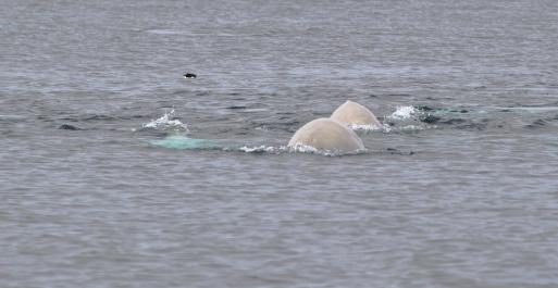Belugas at play