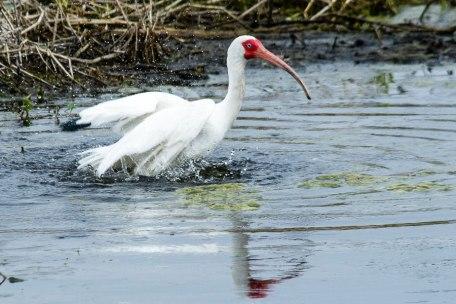 White, Ibis, Bradenton, Florida, 2013
