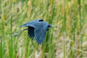 Blue Heron, Bradenton River,Florida, 2013