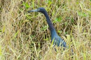 Blue Heron,Bradenton River, Florida, 2013