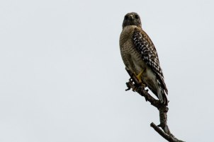 Red Shouldered Hawk,Bradenton, Florida, 2013