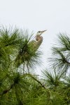 Great Blue Heron, Bradenton, Florida, 2013