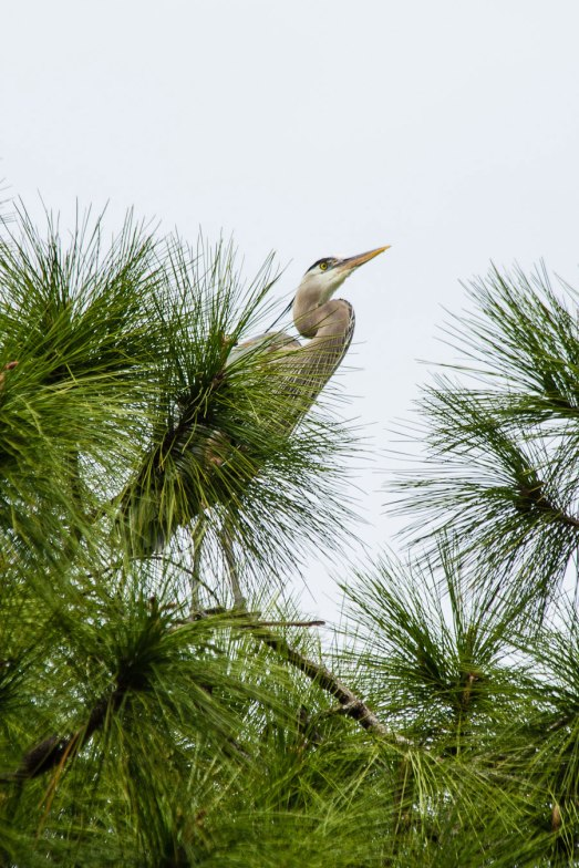 Great Blue Heron, Bradenton, Florida, 2013