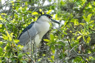 Black-crowned Night Heron, Bradenton River,Florida, 2013
