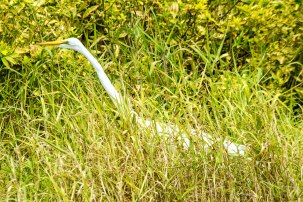 Great Egret, Bradenton River,Florida, 2013