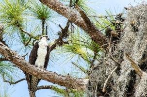 Osprey,Bradenton,Florida, 2013