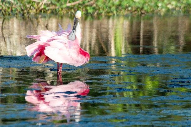 Roseate Spoonbill, Bradenton, Florida,2013