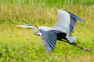 Great Blue Heron, Myakka River State Park,Florida, 2013