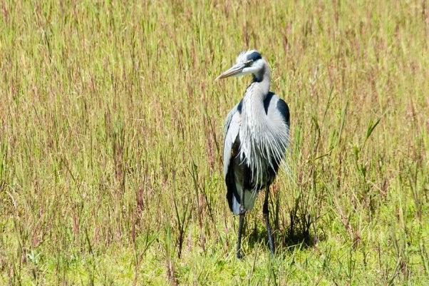 Great Blue Heron, Myakka River State Park, Florida, 2013