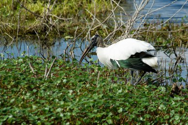 Wood Stork, Bradenton, Florida, 2013