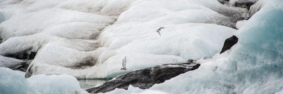 Arctic Terns at Jokulsarlon