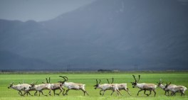 Reindeer on the march