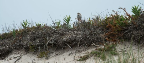Ispwich Sparrow